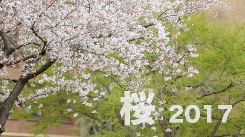 2017_sakura